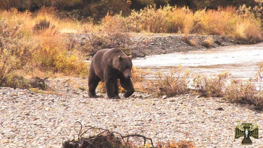 alaska-brown-bear-video-1